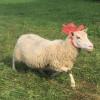 sheep_em2016